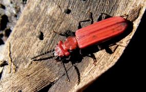 Les Coléoptères saproxyliques de France : Catalogue écologique illustré