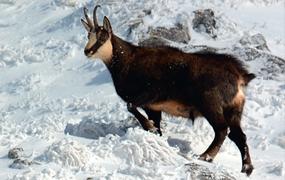 Atlas des mammifères sauvages de France volume 2 Ongulés et Lagomorphes