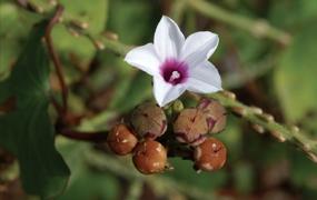 Convolvulaceae : Flora of Cambodia, Laos, Vietnam