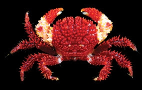 "News ""A new species of reef crab named in honour of Pri…"