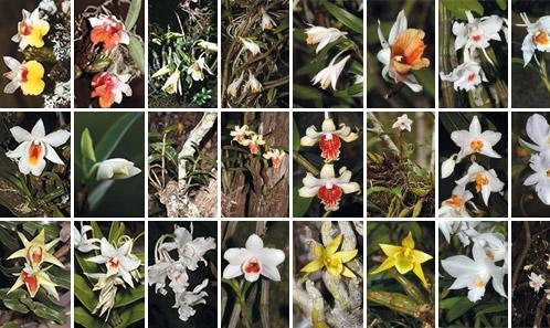Étude de <i>Dendrobium</i> Sw. sect. <i>Formosae</i> (Benth. et Hook.f.) Hook.f. au Cambodge, Laos et Vietnam
