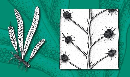 Nouveautés taxonomiques et nomenclaturales  chez les fougères grammitides (Pteridophyta, Polypodiaceae, Grammitidoideae) de Madagascar