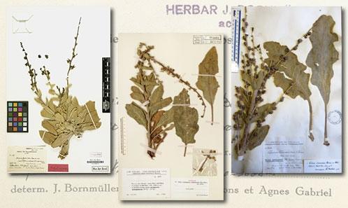 Focus sur trois taxa de du genre <i>Verbascum</i> L. (Scrophulariaceae) de la <i>Flore d'Iran</i>
