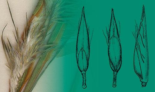Réversion florale et premier signalement de pseudo-viviparie dans certaines espèces de Poaceae