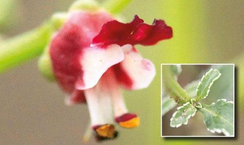 Les espèces de <i>Scrophularia</i> L. (Scrophulariaceae) à marge foliaire blanche de la <i>Flora Iranica</i>