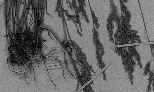 Une liste annotée des pâturins (<i>Poa</i> L., Poaceae) de la République de Sakha (Yakoutie)