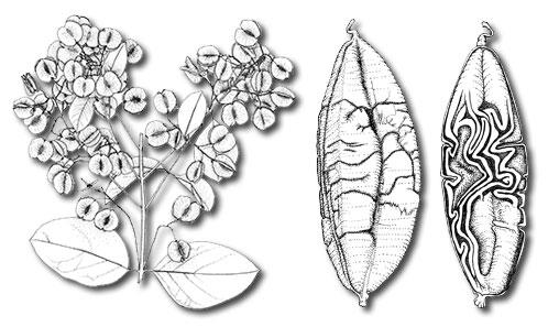 Novitates Gabonenses 89 : <i>Combretum longistipitatum</i> Jongkind, sp. nov. (Combretaceae), une nouvelle espèce lianescente du Gabon