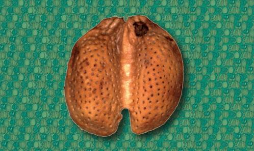 Un fruit fossile anormalement jumelé du genre <i>Iodes</i> Blume (Icacinaceae) provenant de Rivecourt (Thanétien, Oise, France)
