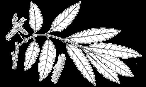 Révision du genre <i>Canarium</i> L. (Burseraceae) de Madagascar