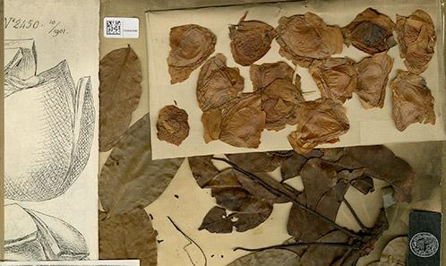 Khayae (Meliaceae) specierum Nomenclator