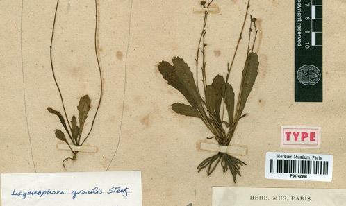 Identité et typification d'<i>Ixauchenus sublyratus</i> Cass. (Asteraceae)