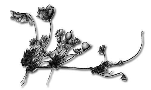 Révision du genre <i>Marsilea</i> L. (Marsileaceae) à Madagascar