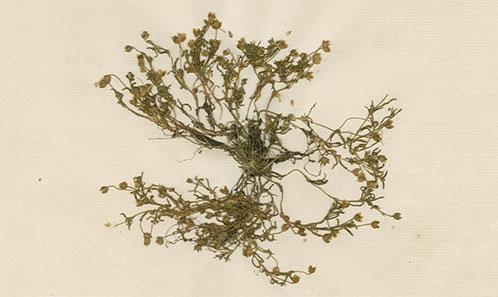 <i>Sagina diffusa</i> (Hook.f.) Timaná, comb. nov., Caryophyllaceae, une nouvelle combinaison pour la flore de l'Île St. Paul (sud de l'Océan Indien), avec quelques notes historiques