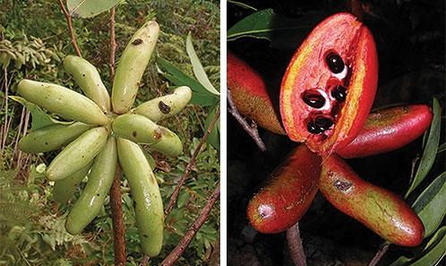 Révision du genre <i>Xylopia</i> L. (Annonaceae): les espèces de Madagascar et des îles Mascareignes
