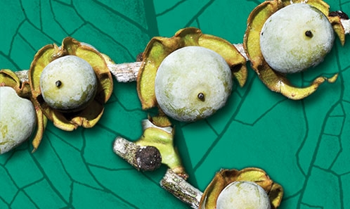 Études taxonomiques de <i>Diospyros</i> L. (Ebenaceae) de la région malgache. IV. Révision synoptique du groupe Squamosa à Madagascar et aux Comores