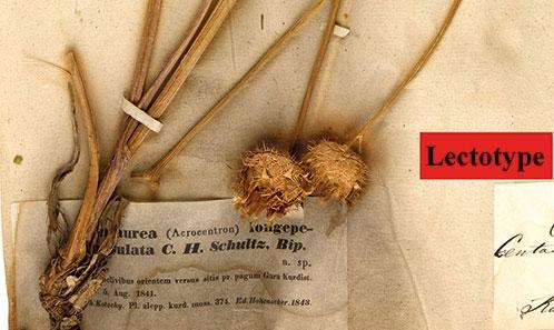 Typification de trois taxons endémiques iraquiens de <i>Centaurea</i> L. (Asteraceae, Cardueae)