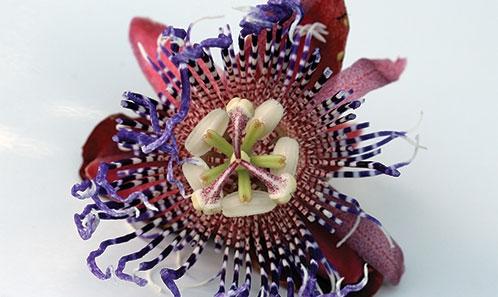 Nouveaux éléments sur la distribution et la diversité de <i>Passiflora cerasina</i> Annonay & Feuillet