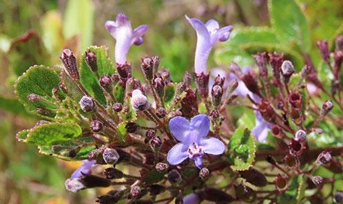 <i>Hyptidendron pulcherrimum</i> Antar & Harley, sp. nov. (Hyptidinae, Lamiaceae), une espèce nouvelle microendémique du Minas Gerais, au Brésil