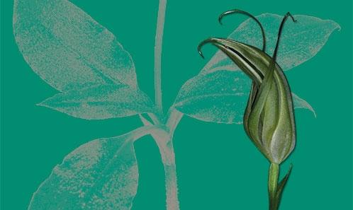 Un <i>Pterostylis</i> R.Br. nouveau (Orchidaceae, Orchidoideae, Cranichideae) de Nouvelle-Calédonie