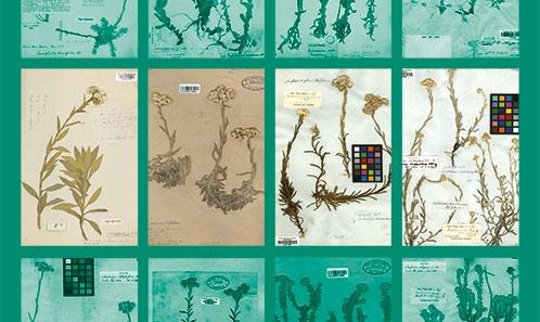 Typification de douze noms dans le genre <i>Anaphalis </i>DC. (Asteraceae)