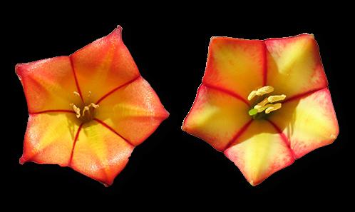 Deux espèces nouvelles de <i>Thiollierea</i> Montrouz. (Rubiaceae), endémiques des massifs Nord-Ouest de la Grande Terre (Nouvelle-Calédonie)