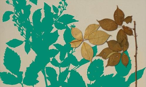 Les espèces nord-américaines de <i>Rubus</i> L. (Rosaceae) décrites depuis des jardins botaniques européens (1789-1823)