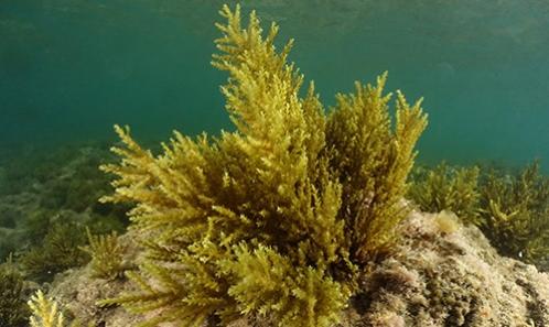 Affinités génétiques et biogéographie du peigne d'algues marines Levantine-endémique <i>Treptacantha rayssiae</i> (Ramon) M.Mulas, J.Neiva et Á.Israel, comb. nov. (Phaeophyceae)