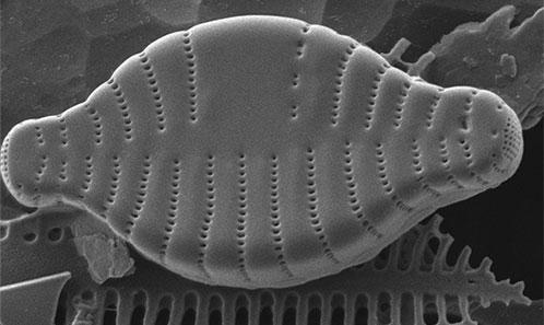 Analyse du matériel type de <i>Synedra deformis</i> W.Sm. and <i>Synedra vaucheriae</i> var. <i>deformis</i> Grunow (Fragilariaceae, Bacillariophyta)