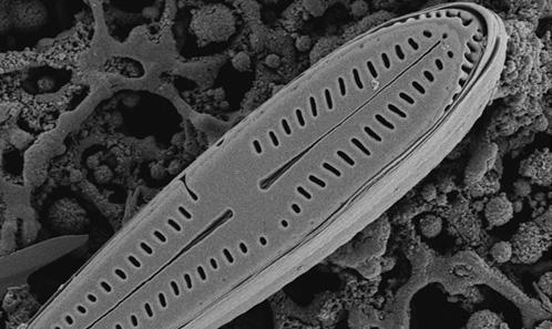 Élévation du sous-genre <i>Rhoicosphenula</i> Lange-Bert. au niveau de genre et description d'une nouvelle espèce de <i>Gomphosphenia</i> <i>s</i>.<i>s</i>. de Porto Rico.