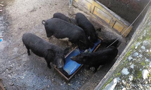 Quand les cochons n'en font qu'à leur tête: des suidés nourris aux suidés chassés chez les Tao de Pongso no Tao