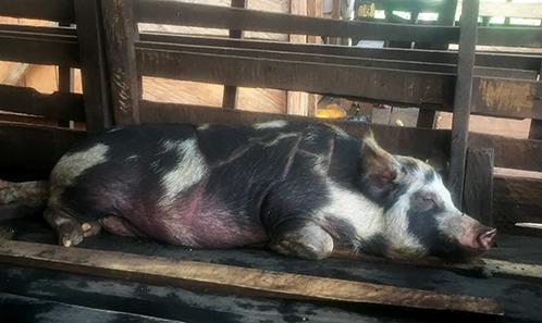 Les porcs «long châssis»: le péril des mariages? Comprendre les transformations du bestiaire dotal du Cameroun méridional