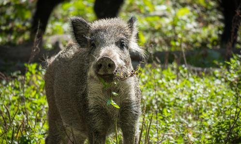 Faire le «sale boulot»: comment les chasseurs ont été enrôlés dans des rituels sanitaires et la destruction des sangliers pour lutter contre une épizootie de PPA (Peste porcine africaine) en Belgique