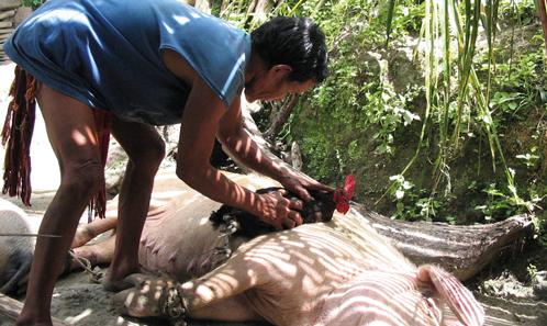 Porcs trans-temporels: humains, esprits et multiplicité temporelle des porcs à Ifugao, Philippines
