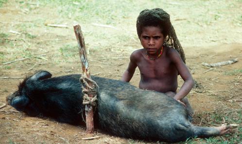 Porcs dans les rites, droits des porcs: valeurs porcines dans les Highlands de Papouasie-Nouvelle-Guinée