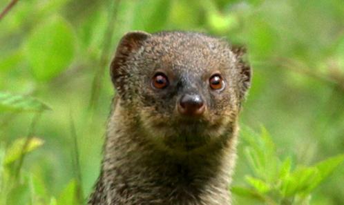 Histoire de la petite mangouste indienne <i>Urva auropunctata</i> (Hodgson, 1836) dans les Antilles: une introduction aux conséquences sociétales et écologiques majeures