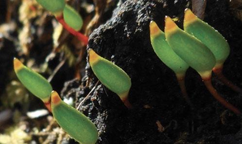 <i>Buxbaumia viridis</i> (Moug. ex Lam. & DC.) Brid. ex Moug. & Nestl. à prédominance terricole en Hongrie et trouvée dans les forêts aménagées