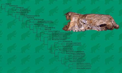 Sur le statut du paresseux géant mylodontiné <i>Glossotherium wegneri</i> (Spillmann, 1931) (Xenarthra, Folivora) du Pléistocène supérieur de l'Équateur