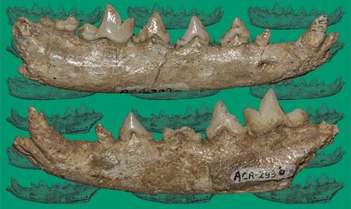 Anciens renards aux portes de l'Europe: le renard pliocène de Calta-1 (Turquie) et ses relations avec lesrenards européens et asiatiques du Plio-Pléistocène
