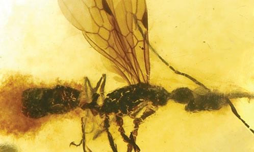 La première fourmi du genre <i>Anochetus</i> Mayr, 1861 de l'ambre néogène de Sumatra (Hymenoptera: Formicidae)