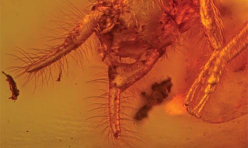 Le plus ancien Embiidae: un nouveau genre de l'ambre éocène basal de l'Oise (Insecta: Embiodea)