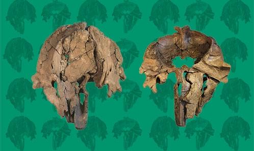 De nouveaux restes de cachalot du Miocène supérieur de la mer du Nord et une attribution de famille révisée pour le petit physétéroïdé apical <i>Thalassocetus</i> Abel, 1905