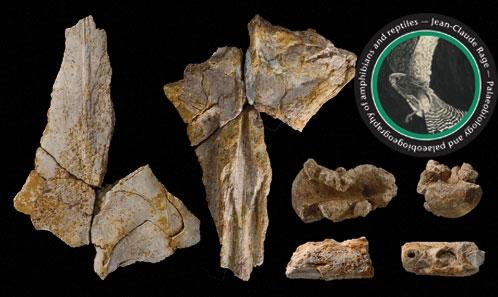 """Redécouverte de """"<i>Liodon</i>"""" <i>asiaticum</i> Répelin, 1915, un Mosasaurini (Squamata, Mosasauridae, Mosasaurinae) du Crétacé supérieur des environs de Jérusalem – Éclairage biostratigraphique grâce aux microfossiles"""