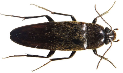 The world fauna of Synchroidae Lacordaire, 1859 (Coleoptera, Tenebrionoidea, Synchroidae)