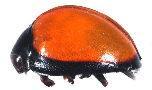 Contribution to the genus <i>Chilocorus</i> Leach, 1815 (Coleoptera: Coccinellidae: Chilocorini), with descriptions of two new species from China