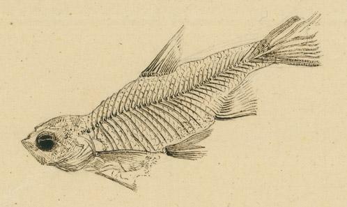 Les poissons téléostéens d'Öhningen (Miocène, Allemagne) de la collection Johann Conrad Ammannétudiés par Georges Cuvier et leur apport à l'histoire de la paléontologie