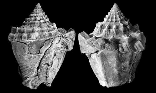 Gastéropodes et bivalves des formations marneuses de l'Éocène du Bassin de Pampelune et de ses environs (Navarre, Pyrénées occidentales)