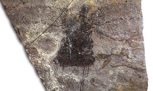 Prières pour une mante fossile non exaucées: <i>Prochaeradodis enigmaticus</i> Piton, 1940 est une blatte (Blattodea)