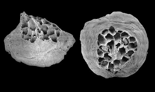 Présence du foraminifère <i>Chapmanina gassinensis</i> Silvestri, 1931, dans l'Éocène (Lutétien) de la falunière de Grignon (Yvelines, Bassin Parisien). Le genre <i>Chapmanina</i>, ses espèces et sa répartition mondiale