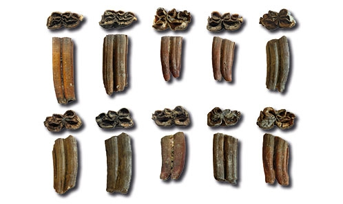Révision des Équidés (Mammalia, Perissodactyla) du site pléistocène moyen du lac Karâr (Tlemcen, Algérie)