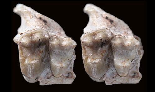 De nouveaux restes de «condylarthres» kollpaniinés (Panameriungulata) du Paléocène inférieur de Bolivie contribuent à l'interprétation des origines de l'hypocone et des proportions des molaires chez les placentaires à morphologie d'ongulés